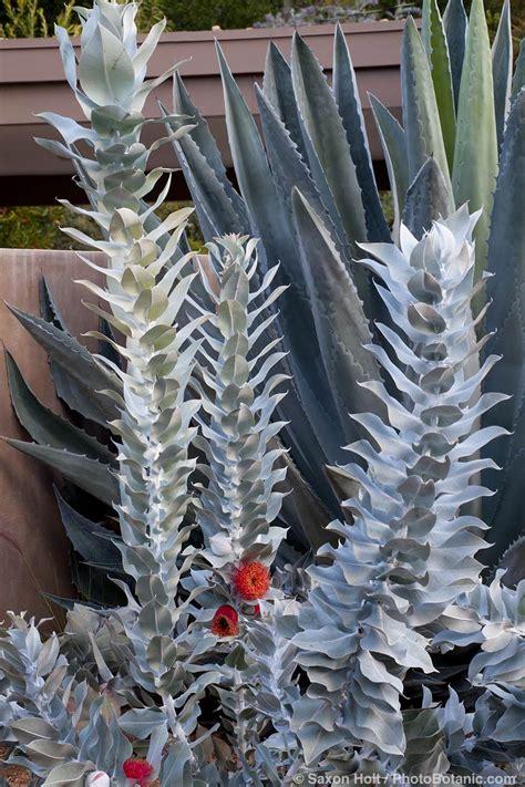 grey foliage plants australia silver on gray photobotanic