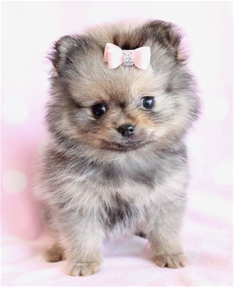 pomeranian with bow 16 best images about pomeranian on nyc dogs and puppies and