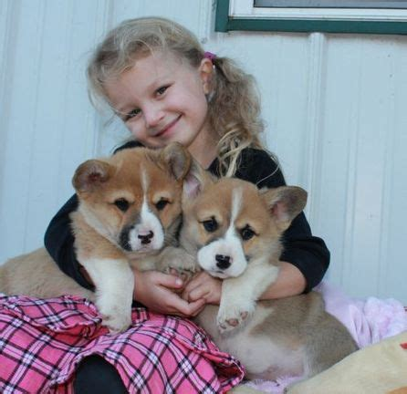 corgi puppies michigan monte cristo corgi s dekunst pembroke corgi puppies for sale michigan