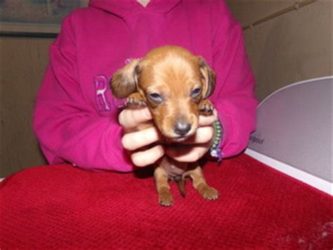 dachshund puppies wi view ad dachshund puppy for sale wisconsin kingston