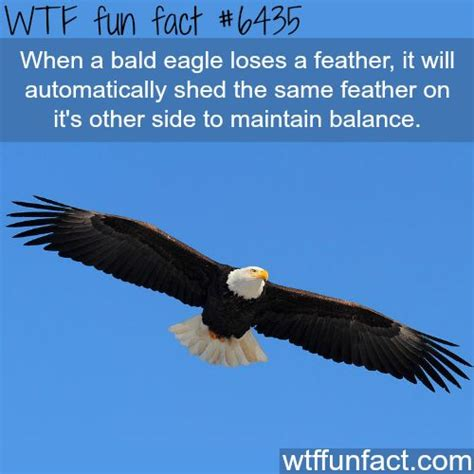 best 25 eagle facts ideas on pinterest eagles harpy