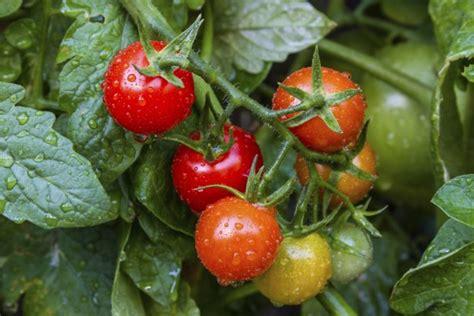 seminare pomodori in vaso come coltivare i pomodori in vaso o nell orto non sprecare