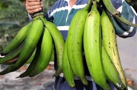 Bibit Pisang Ambon Dengan Rasa Yang Sangat Manis cara menanam dan budidaya pisang yang baik dan benar
