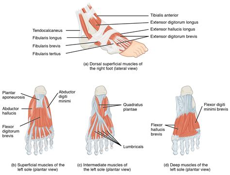 11.6 Appendicular Muscles of the Pelvic Girdle and Lower ... Foot Arch Muscles