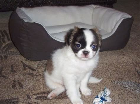 pug shih tzu mix puppies pug shih tzu mix puppies