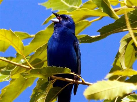 How To Attract Indigo Buntings To Your Backyard by Indigo Bunting