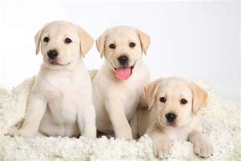 yellow lab puppy names yellow lab names for your or pooch