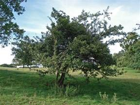 hawthorn tree pictures facts images on hawthorn trees