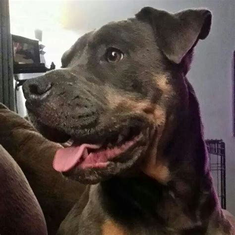 pitbull with rottweiler markings 9 best images about dogs are perfection on beautiful beautiful dogs and