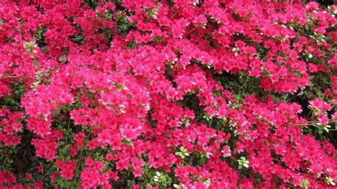 azalea da giardino azalee piante da giardino come curare le azalee