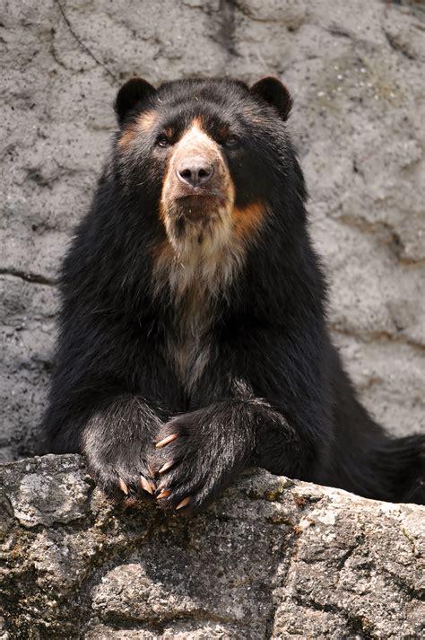 spectacled bear spectacled bear bear legend