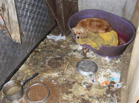 puppy mill conditions desperate puppy mill hides puppies in wall dogtime