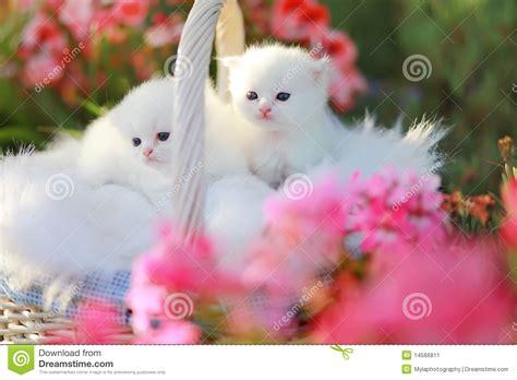 gatti persiani bianchi gattini persiani bianchi immagine stock immagine 14566811