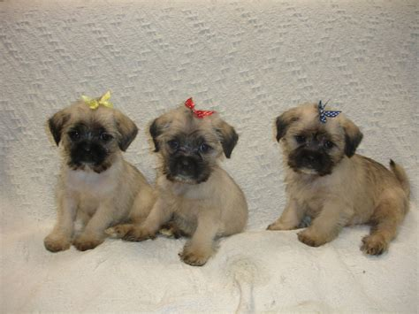 pug puppies for sale or adoption singapore tiny teacup maltese puppies for adoption maltese dogs puppies breeds picture