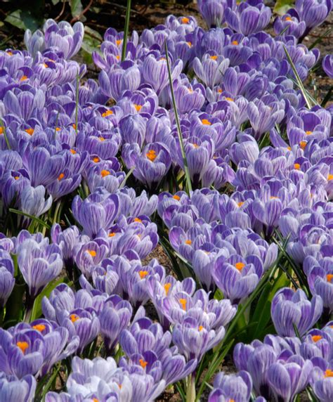 fiori crocus buy large flowered crocus xl pack king of the striped