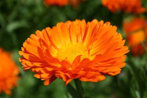pianta fiori arancioni pianta con fiori arancioni img with pianta con fiori