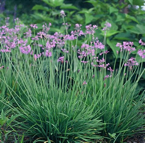society garlic grow garlic indoors no garlic breath tulbaghia herb 6 quot pot ebay