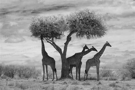 Afika Syari Black photo gallery of wildlife images in black and white imagesafaris