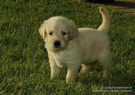 golden retriever for sale in bangalore pin golden retriever for sale bruno bangalore karnataka india ka on