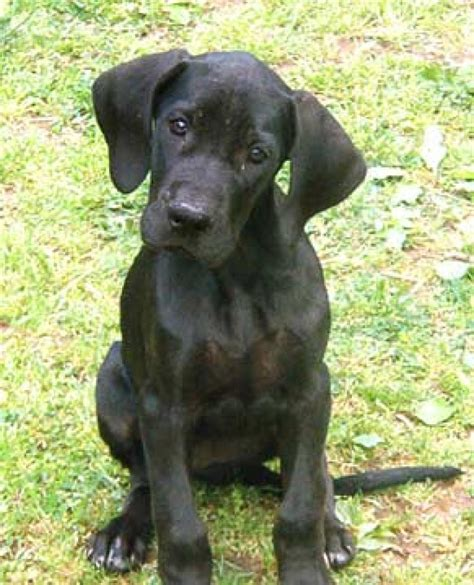 black great dane puppies great dane puppies for sale atul pahariya 1 2251 dogs for sale price of puppies