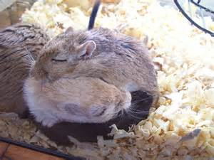 Cute Bedding Ball Of Gerbils By Gerbilya On Deviantart