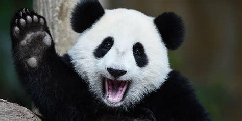 one panda le panda g 233 ant n est plus quot en danger quot mais reste menac 233