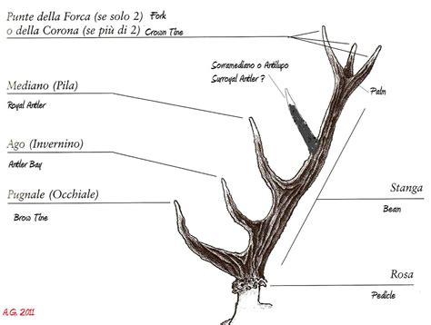 le hirschgeweih terminologia dei palchi dei cervidi forum natura