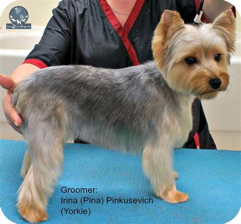 how to cut my silky terriers hair silky terrier haircuts photos newhairstylesformen2014 com