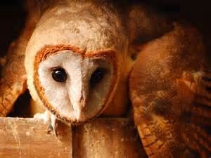 How Big Are Barn Owls the owls at the small breeds farm and owl centre kington herefordshire uk