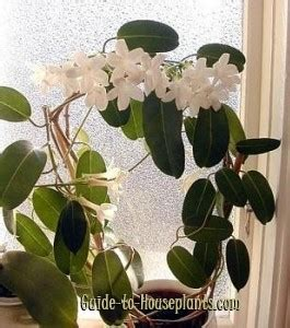madagascar jasmine care stephanotis floribunda