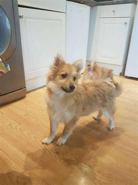 pomeranian x papillon papillon x pomeranian warrington cheshire pets4homes