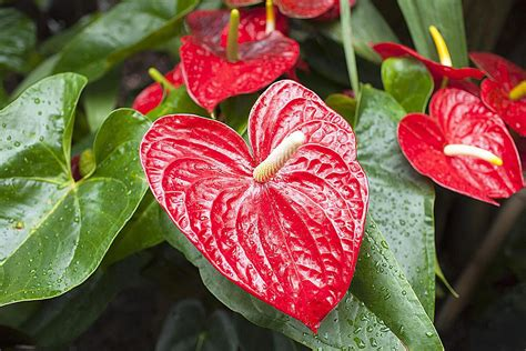 fiori anthurium how to successfully grow anthurium plants