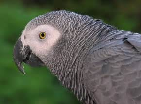 all about animal wildlife african grey parrot few facts