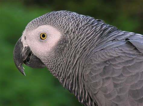 all about animal wildlife african grey parrot few facts and images photos