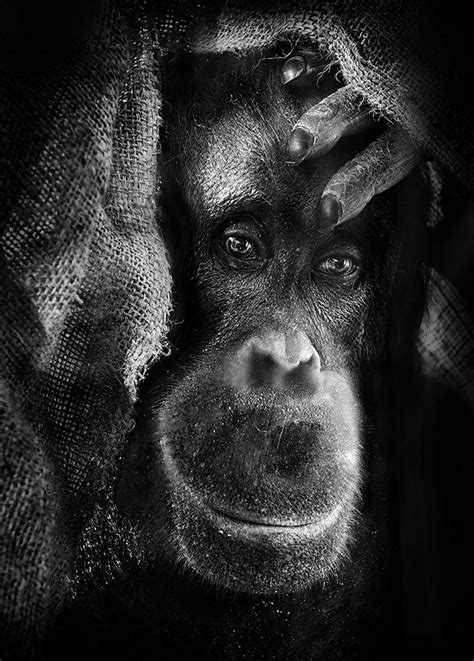 inHUMAN: Unnerving Portraits of Emotional Apes (2014