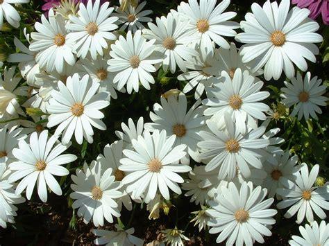 imagenes margaritas blancas fotos gratis naturaleza flores margaritas pintura y