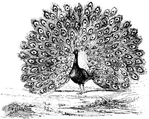 animal coloring pages peacock 38 unique peacock coloring pages for kids gianfreda net
