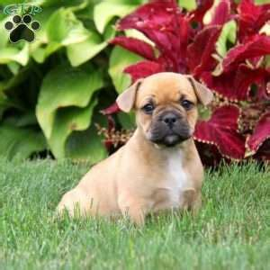 frengle puppies frengle puppies for sale frengle breed profile greenfield puppies