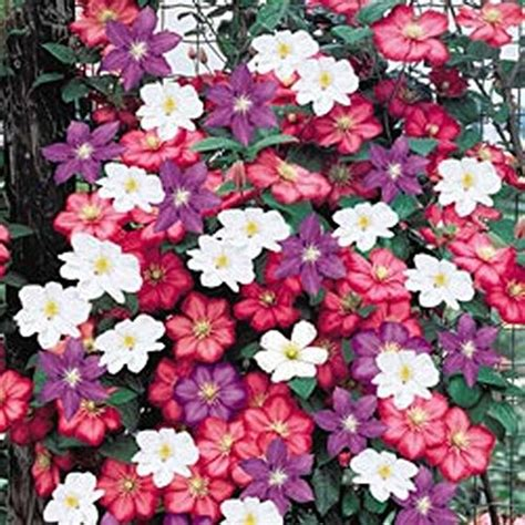 best climbing flowering plants best climbing plants for trellises arbors and pergolas