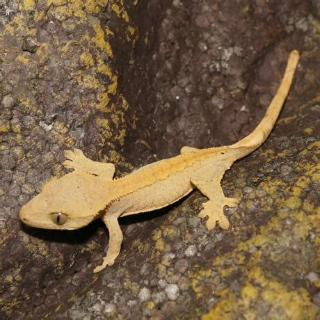 Do Crested Geckos Need Heat Ls by Crested Gecko Correlophus Cillatus
