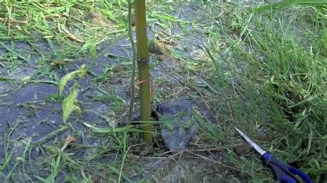 come piantare i pomodori in vaso coltivazione pomodori costruzione sostegno e legatura