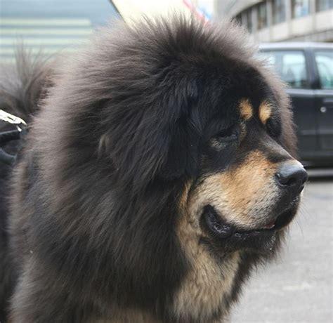mastif puppies tibetan mastiff