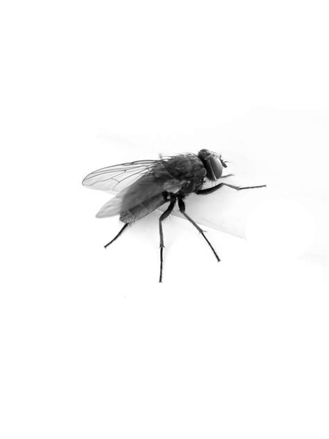 flying with a fly png image free fly png pictures