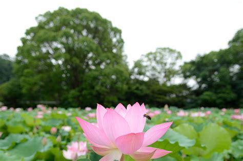 pink lotus flower field hd wallpaper wallpaper flare