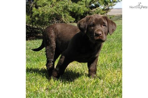 free lab puppies free chocolate labrador retriever puppies 5 free hd wallpaper dogbreedswallpapers