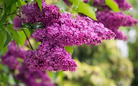 lilac tree syringa vulgaris bush branch  purple flowers  bloom  summer wallpaperscom