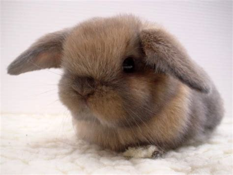 the fluffiest of all floppy eared bunnies
