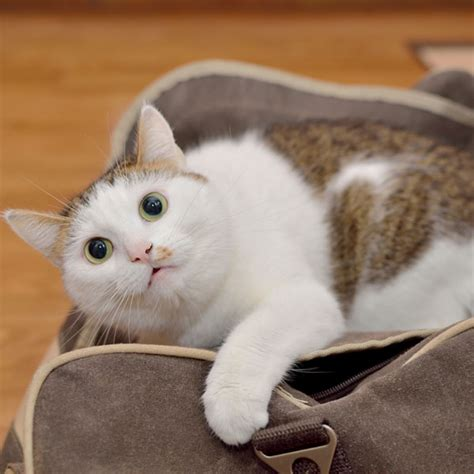 flying with your cats on a plane tips for flying with your felines catster