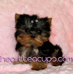 smallest teacup yorkie in the world teacup puppies on teacup dogs teacup yorkie and yorkies for sale