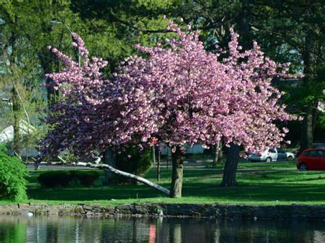 cherry tree care seneca tree service gallery